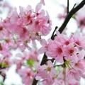 单车馆公园 ~ 钟花樱花
