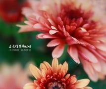 《正是橙黄橘绿时》水天镜界菊花摄影作品