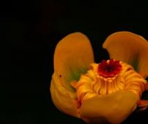 宛在水中央----黄金莲