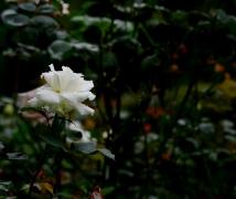 娇艳欲滴  月季花