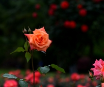 花中皇后   月季花