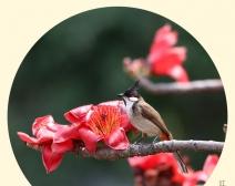 鸟儿枝头闹 本是木棉红