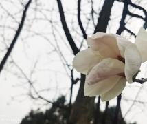 春回大地之玉兰望春