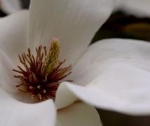 玉兰花之花蕊