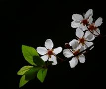 小区里的樱花又开了.