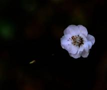 冰肌玉骨之白梅花