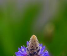 紫色印象 梭鱼草