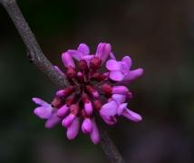 紫色印象   紫荆花