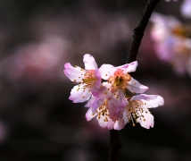 樱桃花开山雨红