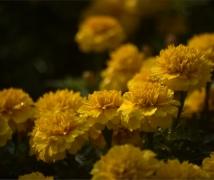2019东湖菊展