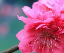 【春 桃】--桃花系列第一篇