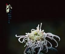 秋菊——(鹏城菊花)