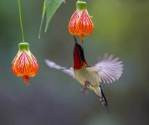 悬飞的叉尾太阳鸟