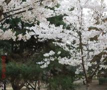 春满京华樱如雪