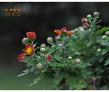 东湖赏菊(2016.12)
