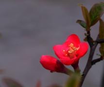 姹紫嫣红海棠花