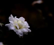 淡雅清纯----白茶花