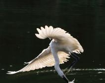 身手不凡------鹭鸟捕鱼的精彩瞬间