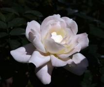 春节人民公园月季花-组图