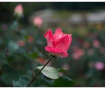 月季花仙子