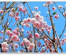 观澜体育公园赏樱