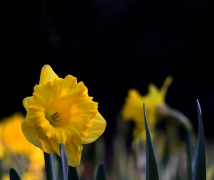 妩媚清雅----水仙花