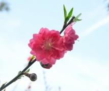 竟然还有 桃花 拍摄?