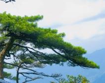 【江西行】三清山的松
