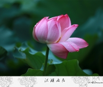 洪湖雨荷-2015