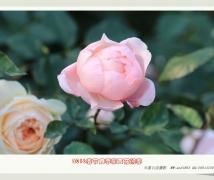深圳春节月季展