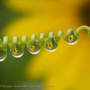 『微距�z影』Alberto Panizza:水滴中的花朵